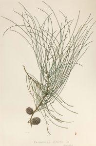 Casuarina stricta(now Allocasuarina verticillata) late 1940s