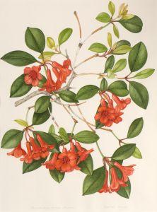 Rhododendron lochiae1973