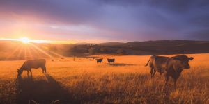 Lowline cows against a colourful, dramatic sunset sky in rural countryside landscape. iStock.