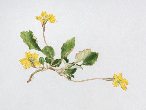Goodenia hederacea c. 1948