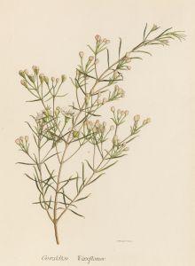 Geraldton waxflower (Chamelaucium uncinatum) late 1940s