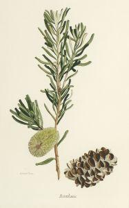 Banksia (Banksia marginata) late 1940s